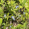 A wild blueberry snack.- Brace Mountain
