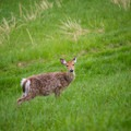 Deer are often seen grazing on the slopes next to the promenade.- Ashokan Reservoir Promenade