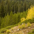Fall color along the Beaver Creek Trail is magnificent.- Beaver Creek and Taggart Lake Loop Hike
