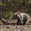 The first cub....- Signal Mountain Trail