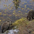 A grizzly sow and her cub in Teton National Park.- Signal Mountain Trail