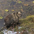 A grizzly sow in Teton National Park.- Signal Mountain Trail