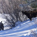 Moose along the Snake River snowshoe.- Snake River Snowshoe via Jackson Lake Dam