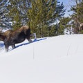 Luckily these moose didn't being observed.- Snake River Snowshoe via Jackson Lake Dam