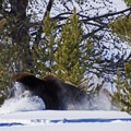 Such power in these large moose.- Snake River Snowshoe via Jackson Lake Dam