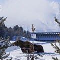 The moose seem to like the willow chutes.- Snake River Snowshoe via Jackson Lake Dam