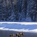 Moose crossing the Snake River in winter.- Snake River Snowshoe via Jackson Lake Dam