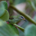 Birds are abundant in the area. Pictured is a juvenile male red legged honeycreeper.- Sendero Arenal 1968 Trail
