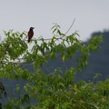 Montezuma oropendola. These birds swing on branches as a territorial and courtship display.- Sendero Arenal 1968 Trail