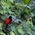 Male Passerini's tanager perched on a branch.- Sendero Arenal 1968 Trail