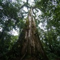Large tree on the way to the national park.- Rio Celeste