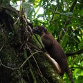 Coati searching for food in the forest.- Rio Celeste