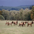 Grazing Roosevelt elk at Jewell Meadows Wildlife Area.- Jewell Meadows Wildlife Area