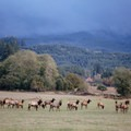 The Roosevelt elk herd at Jewell Meadows Wildlife Area.- Jewell Meadows Wildlife Area
