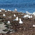 Resting gulls.- Portage Island Paddle