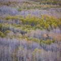 Aspen leaves turning in the fall along the Steens Mountain Backcountry Byway.- Steens Mountain Quaking Aspen Fall Foliage