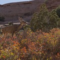 A deer along the trail to Partition Arch.- Partition Arch