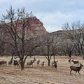 A common sight is seeing the large herds of mule deer that hang out in Fruita.- Historic Town of Fruita