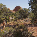 A family of deer near Navajo Arch.- Navajo Arch
