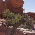 An old juniper in the Garden of Eden.- The Garden of Eden and Owl Rock