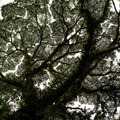 Beautiful tree with hundreds of other plants growing on it.- Mistico Arenal Hanging Bridges Park