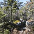 Fir trees along the Wittenberg summit.- Wittenberg + Cornell Mountains