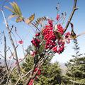 Highbush cranberries along the ridge.- Wittenberg + Cornell Mountains