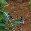 Kingfishers near their nest (burrow) on the cliffs.- Caño Negro Wildlife Refuge