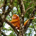 Albino black howler monkey.- Caño Negro Wildlife Refuge
