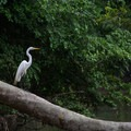 Great egret hunting.- Caño Negro Wildlife Refuge