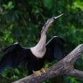 Anhinga drying its wings.- Caño Negro Wildlife Refuge