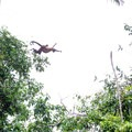 Spider monkey jumping between trees with its precious cargo.- Caño Negro Wildlife Refuge