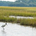 A wood stork looking for food in the marsh.- White Point Beach Hike