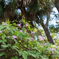 Morning glory flowers and palmetto tree.- White Point Beach Hike