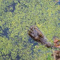 Tiny alligator in one of the ponds.- White Point Beach Hike
