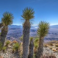 Joshua trees provide a relief after a long, shadeless and treeless hike.- Towne Peak + Plane Wreck Site