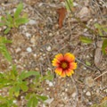Unidentified species (help us identify it by providing feedback).- Cape Point Campground