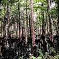 Cypress swamp.- Cathedral of Palms Trail