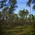Slash pines and flatwoods.- Cathedral of Palms Trail