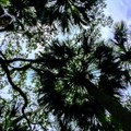 Sabal Palmetto canopy.- Cathedral of Palms Trail