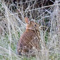 Small bunny along the Horse Rock Ridge Trail.- Horse Rock Ridge