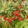 Hawaiian Christmas berry along the trail.- Mount Olympus / Awāwaloa