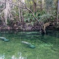 Manatees seeking a cold weather refuge. Passive observation only!- Blue Spring State Park