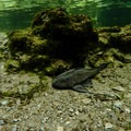 An invasive armored catfish. There are studies being done to determine if these bother the manatees.- Blue Spring State Park