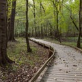 Low boardwalk in an open patch of forest.- Boardwalk Trail