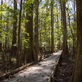 Low boardwalk passing among large cypress trees.- Boardwalk Trail