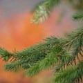 Fall foliage behind a Douglas fir.- Silver Star Mountain via Grouse Vista Trailhead