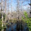 Cypress Trees in the swamp.- Loop Road Scenic Drive