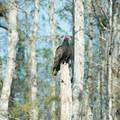 Turkey vulture.- Loop Road Scenic Drive