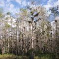 Cypress Trees.- Loop Road Scenic Drive